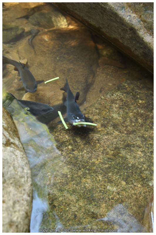 ปลาพลวง กิน ถั่วฝักยาว